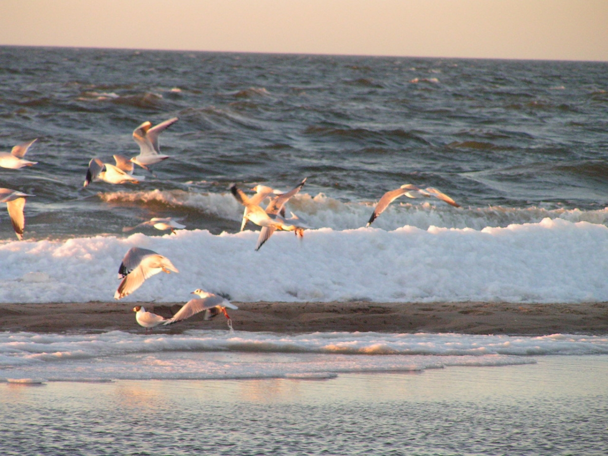 Mewy w ciepłych promieniach Słońca Bałtyku